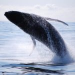 whale watching eden nsw